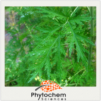 Herbal extraction type leaf part Sweet Wormwood Extract