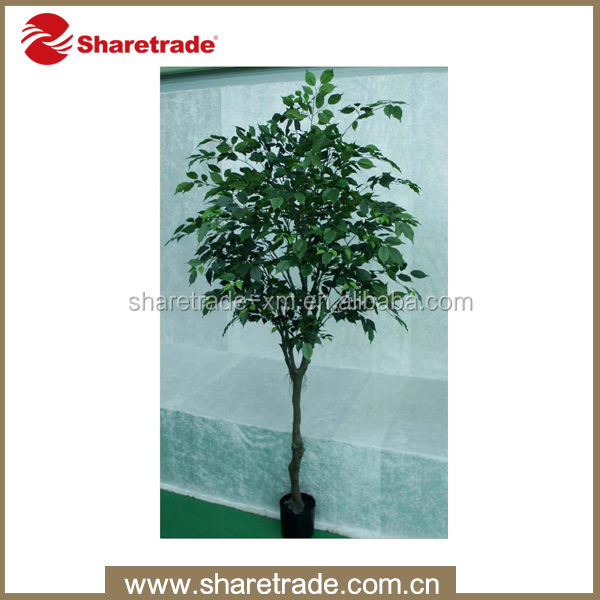 hot sale ficus microcarpa bonsai tree price