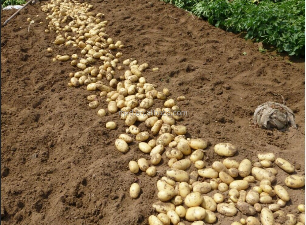 Distributor fresh potatoes from China