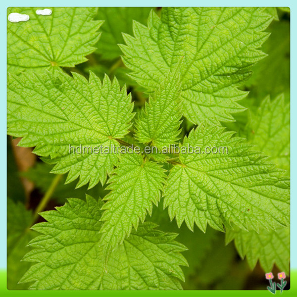 Natural high qulity nettle root extract