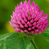 20% high quality trifolium pratense L. factory red clover extract isoflavone