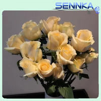 Wholesale best quality rose plant with champagne color and various types