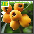 High quality Loquat Leaf P.E