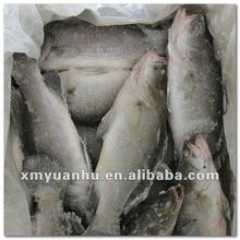 fresh Frozen seafood product seabass