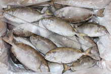 Hot sale Frozen Rabbitfish of 2016 new product