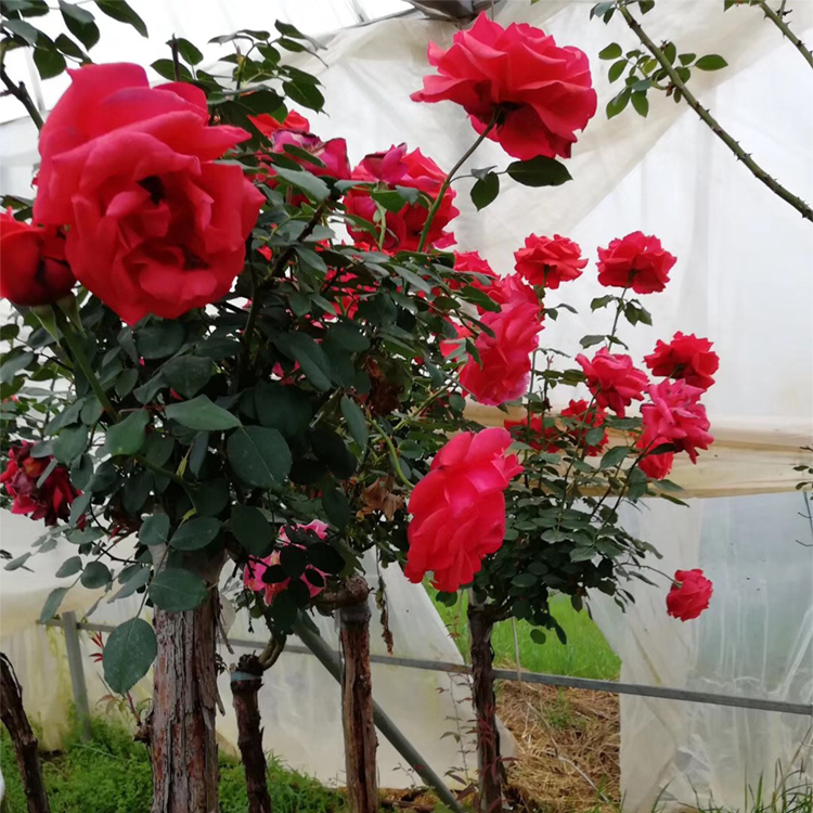 S425 Yue Ji Hua China Manufacture China Rose Flower Seeds For Planting