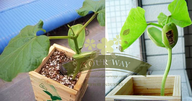 Wooden packing Magic Bean,magic bean plant