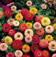 2015 Newest Zinnia Seeds For Sale In Bulk In Your Garden