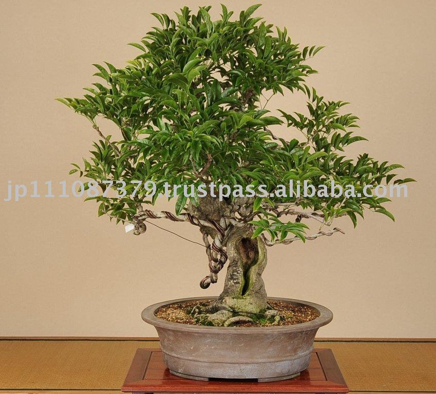 Albero bonsai piante di fioritura id prodotto 111034483 for Glicine bonsai prezzo