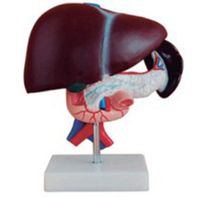 High Quality Medical Human Liver Pancreas Duodenum Teaching Model