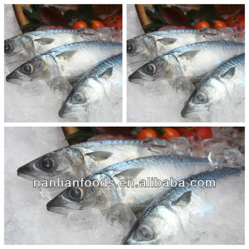 size in 200-300g mackerel whole round of ship frozen fish