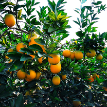 Low Price Golden Orange Fruit Specification