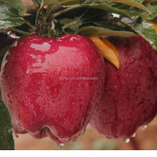 Pome Fruit fresh Huaniu apple export fresh red delicious apple fruit