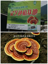 Ganoderma lucidum extract (reishi mushroom),we have our own planting base,GMP/HACCP certification