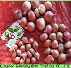 New Crop Wanted Pearl Fresh Shallot Onions/Mao Onions