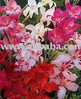 Hardy Gladiolus Bulbs In Mixed Colors