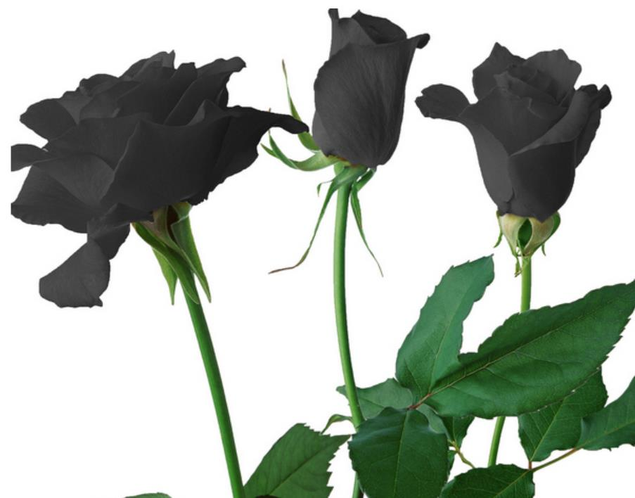100 pieces black rose seeds for planting