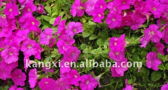 petunia seeds Nice shaped with attractive huge colorful flowers