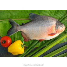 Quick frozen fresh black pomfret <strong>fish</strong>