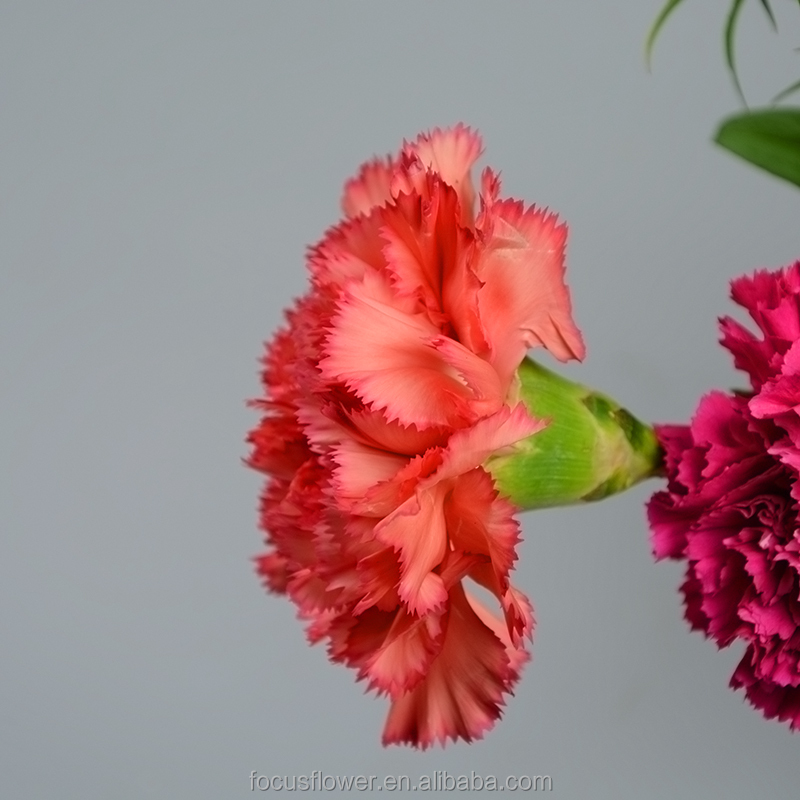 factory price supply fresh cut flowers carnation for weddings