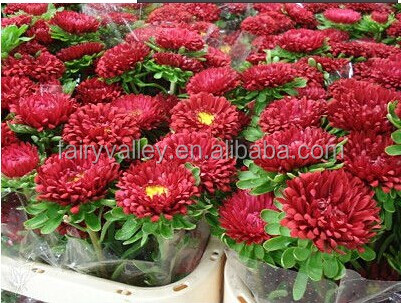 Heirloom callistephus chinensis China Aster Red Ribbon Rose Flower Bulk Seeds For Growing