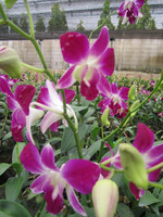 buy fresh cut orchid wholesale thailand
