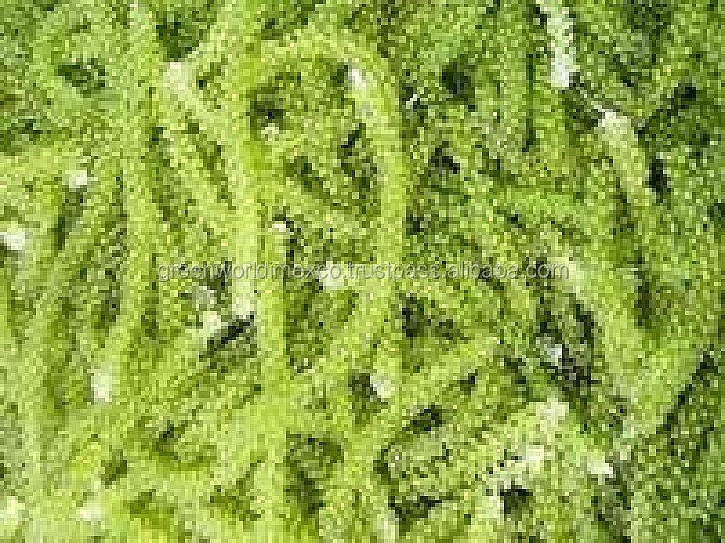 seaweed desiccation essay