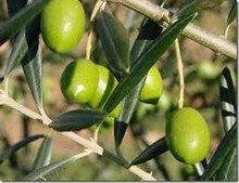 Greek Chalkidiki Green Olives