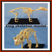 R190112 Animal Model Dog Skeleton Model for Pharmaceutical and Veterinarian's Reference