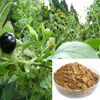 pure natural Belladonna Extract/GMP factory/CP/USP/EP