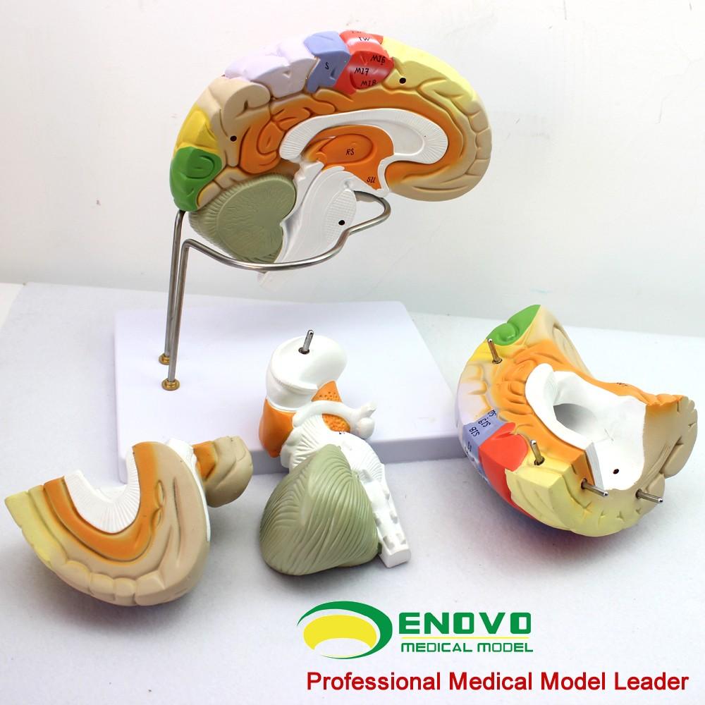 Brain Anatomy 12406 Plastic Medical Enlarge Brain Anatomy Model - 4 ...