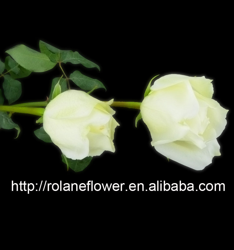 Natuarl Fresh Cut Rose Flowers for Wedding Decoration white Rose Tineke Price Wholesale From kunming,Yunnan, China