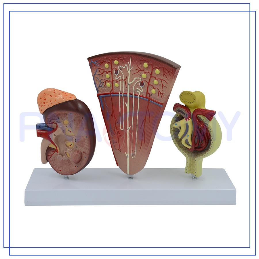 PNT-0564-1 Professional glomerulus nephritis model with Long Service Life