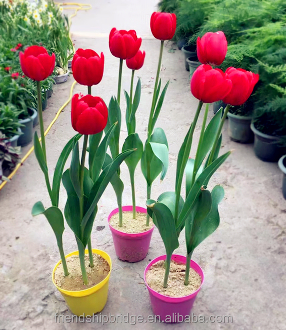 Real Live Flowering Potted Plants Tulipa Gesneriana Garden Tulip