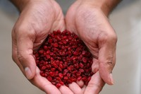 High Quality Dried Barberry