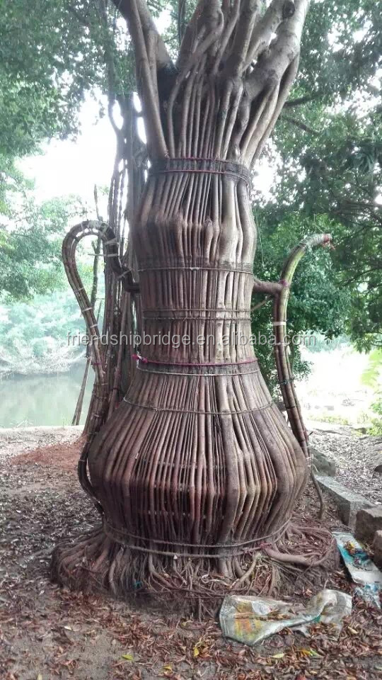 tea pot shape ficus microcarpa