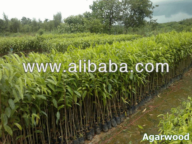 Agarwood seedling