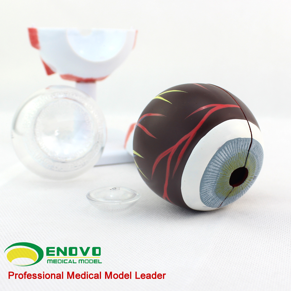 Eye Anatomy 12526 Plastic Anatomical Model Of Human Eye Structure ...