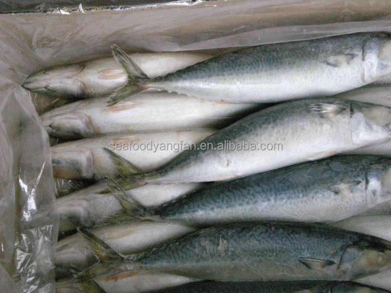 Mackerel Prices Land Frozen Pacific Mackerel fish Scomber Japonicus