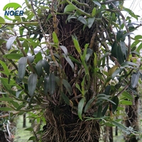Factory Supply 100% Natural Organic Dendrobium Stem 1% Dendrobe