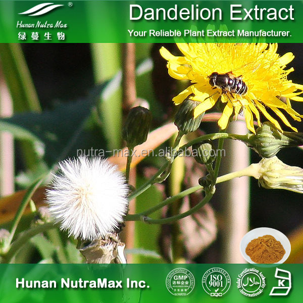 Dietary Supply Free Sample HALAL Kosher dandelion root powder 4%-8% Flavonoids