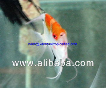 Koi angel fish buy koi angel ornamental tropical for Koi fish quotes