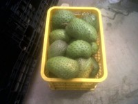 SUPER QUALITY GRAVIOLA FRUIT