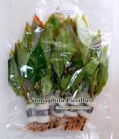 Nomaphila Pusillus - Aquatic Plants Farm For Sale / Ornamental Plants From Thailand