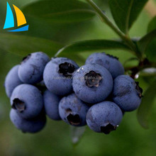 New Crop High Quality Sweet IQF Frozen Blueberry