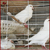 Pigeon Breeding Cage Manufacture