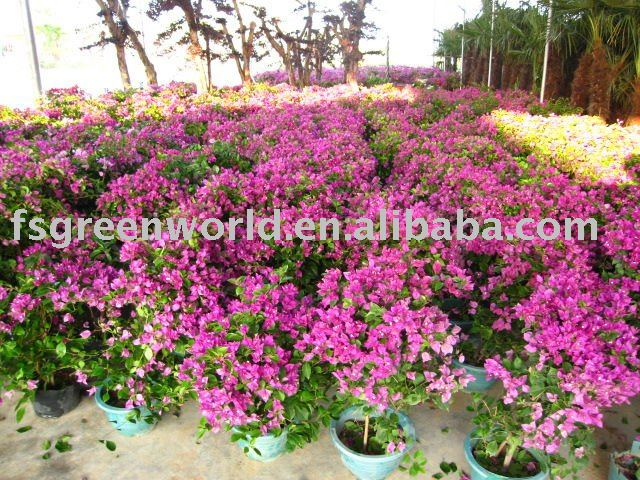 Bougainvillea shrubs trees