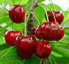 wholesale canned cherry in tin or in jar with best price