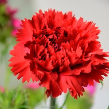 100% Cut Fresh Flowers Red Master Carnation With Best Quality