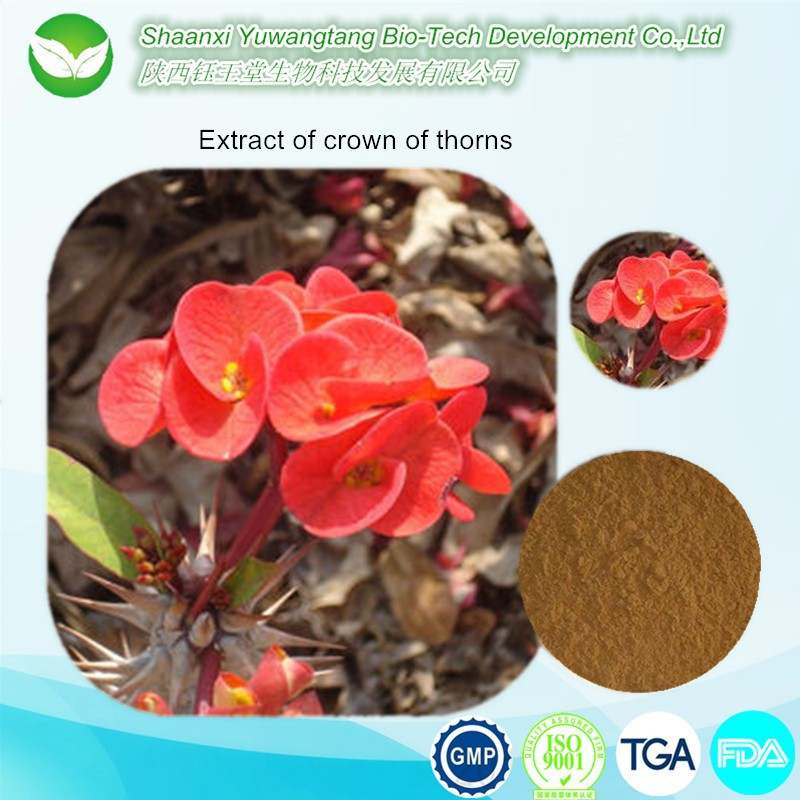 Flowers extract of crown of thorns for Curing Cancer